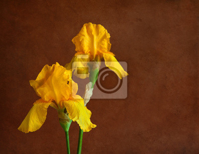 Dwa pomarańczowe irysy na brązowym tle. Skupić się na najbliższej kwiat