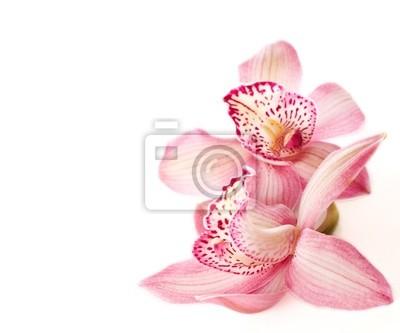 dwa różowe orchidee na białym