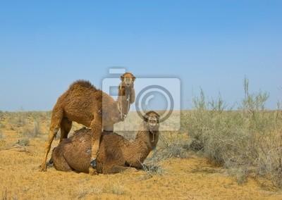 Dwa wielbłądy na pustyni