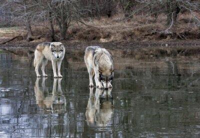 Obraz Dwa wilki na zamarzniętym jeziorze