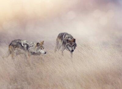 Obraz Dwa wilki w wysokiej trawie