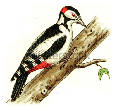 Obraz Dzięcioł, vintage grawerowane ilustracja. Z Atlasu Deutch Birds of Europe.