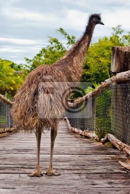 Dziki emu, Australia