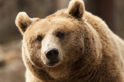 Obraz dziki niedźwiedź brunatny