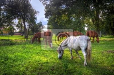 Dzikie konie na polu