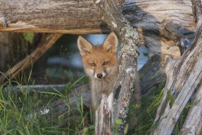 Obraz Dzikie Lis cub oglądania z kryjówki