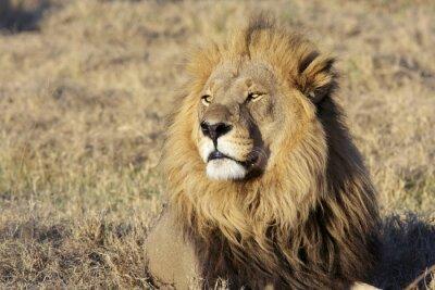 Obraz Dzikie samiec lwa portret