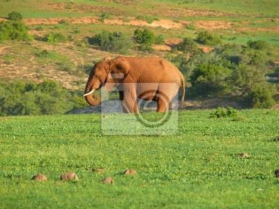 Elefantenbulle in Afrika