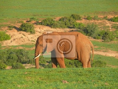 Elefantenbulle w Südafrika