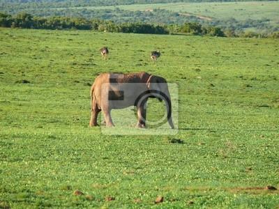 Elefantenkuh w Südafrika
