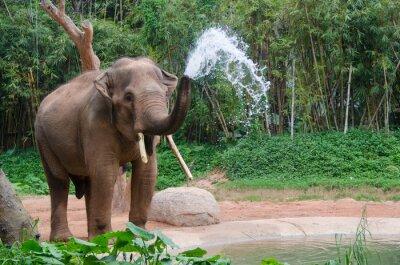 Obraz Elephant make water spray - Nature shower