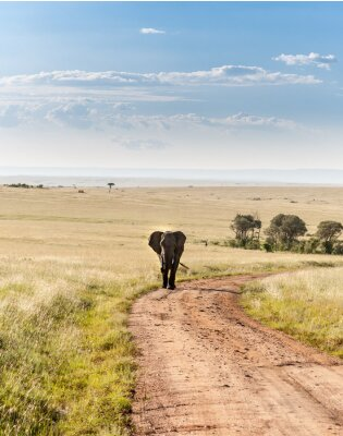 Obraz elephant walking in the savanna