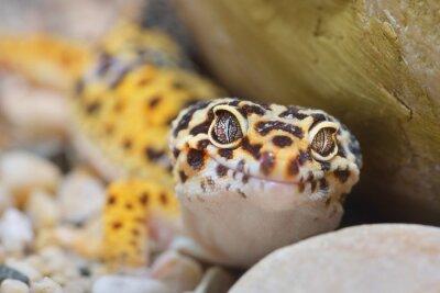 Obraz Eublepharis macularius Gecko Leopard w zoo