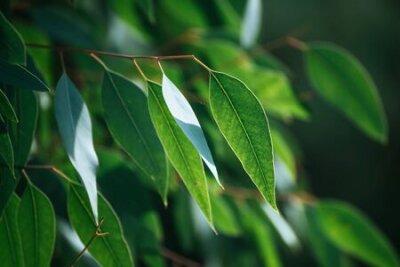 Obraz Eucalyptus green leaves