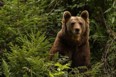 Obraz Eurasian niedźwiedź brunatny