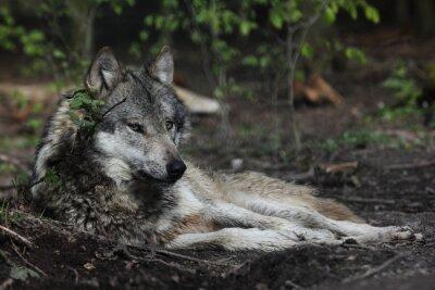 Obraz Europäsicher Wilk Canis lupus
