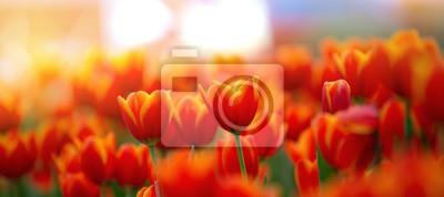 Obraz field of red tulips