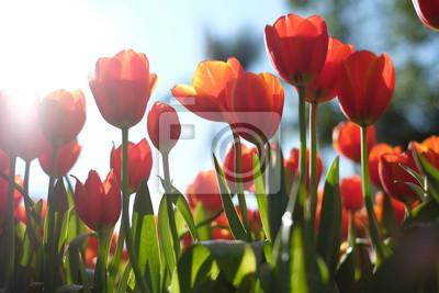 Obraz field of red tulips flowers
