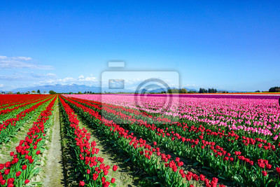 Obraz field of tulips