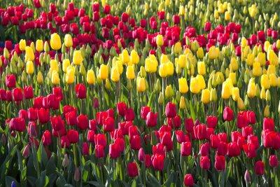 Obraz field of tulips in spring