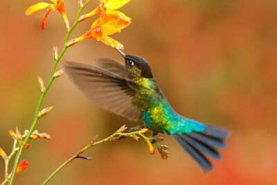 Obraz Fiery-throated Hummingbird, Panterpe insignis, shiny colorful bird in flight, sucking nectar from bloom. Wildlife flight action scene from tropical forest. Mountain bright animal from Panama.