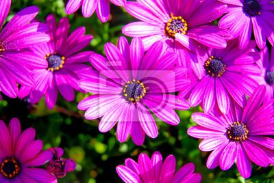 fioletowe stokrotki 2