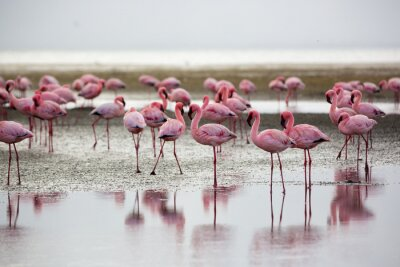 Obraz Flamingi w Wallis Bay, Namibia, Afryka