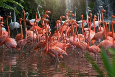 Obraz Flock of Pink flamingos standing in water