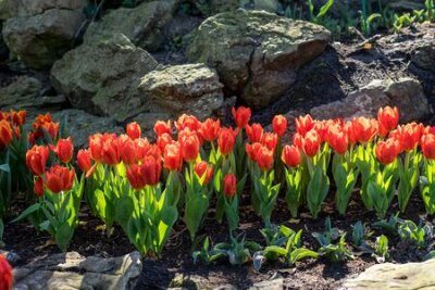 Obraz Flower garden, Netherlands, Europe, a group of colorful flowers