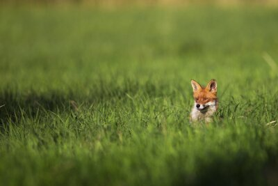 Obraz Fox na wolności, na polanie