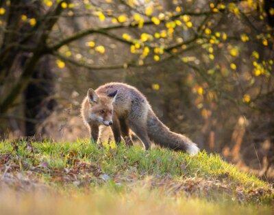 Obraz Fox (Vulpes vulpes) w Europie las