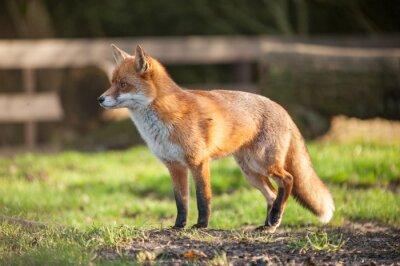 Obraz Fox w otwartym parku