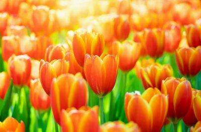 Obraz Fresh colorful tulips flower bloom in the garden