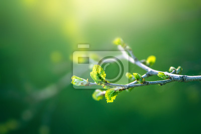 Obraz Fresh young green leaves of twig tree growing in spring. Beautiful green leaf nature outdoor background with copy space