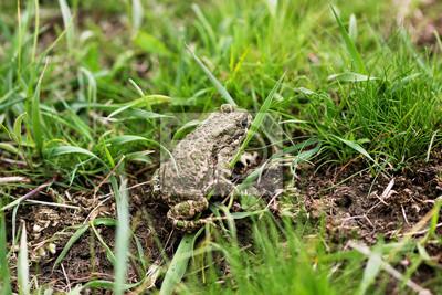 Obraz frog ziemnych step