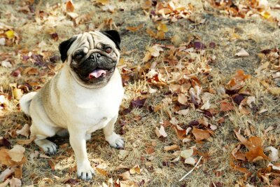 Obraz Funny pug pies w parku jesienią, na zewnątrz