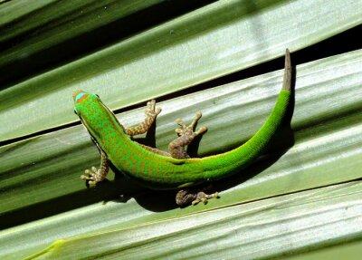 Obraz Gecko odpoczynku w kształcie litery U