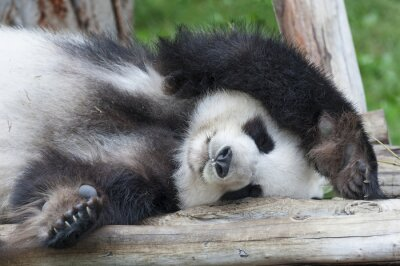 Obraz Giant Panda Bear spania