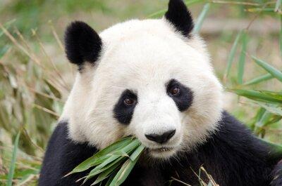 Obraz Giant Panda jedzenie bambusa, Chengdu, Chiny