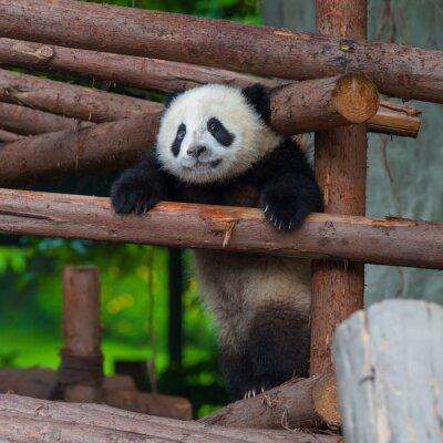 Obraz Giant panda próbuje wspiąć się na drewniany słup