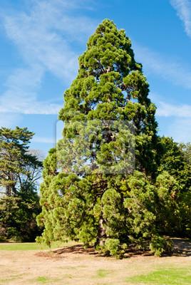 Giant Sequoia w Bagatelle ogrodów, Paryż