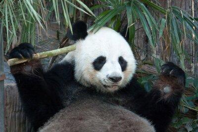 Obraz Głodna panda bear jedzenia