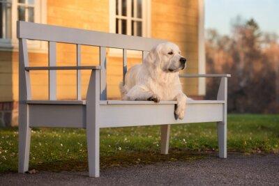 Obraz golden retriever psa leżenia na ławce przy zachodzie słońca