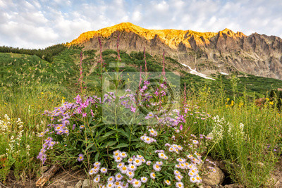 Gothic Mountain Asters