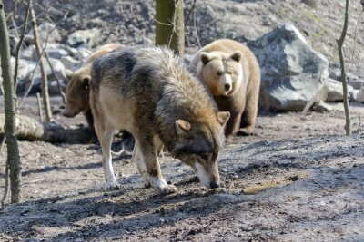 Obraz Gray wolf (Canis lupus) and brown bear (Ursus arctos)
