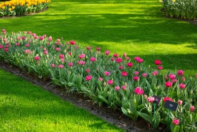 Obraz Green lawn, flowerbed with beautiful pink tulips. Spring tulips flowers in park. Sunny day. Copy space for text - Image