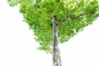 Obraz Green leaves and big tree isolated on white background