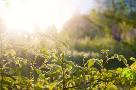 Obraz Green leaves at sunrise, plant rose in morning with sunlight