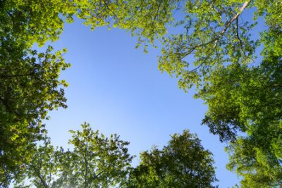 Obraz Green leaves of trees view from below against the blue sky, spring nature.