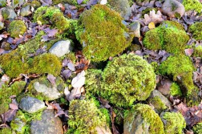 Obraz Green moss on old stones in the forest, background, texture.